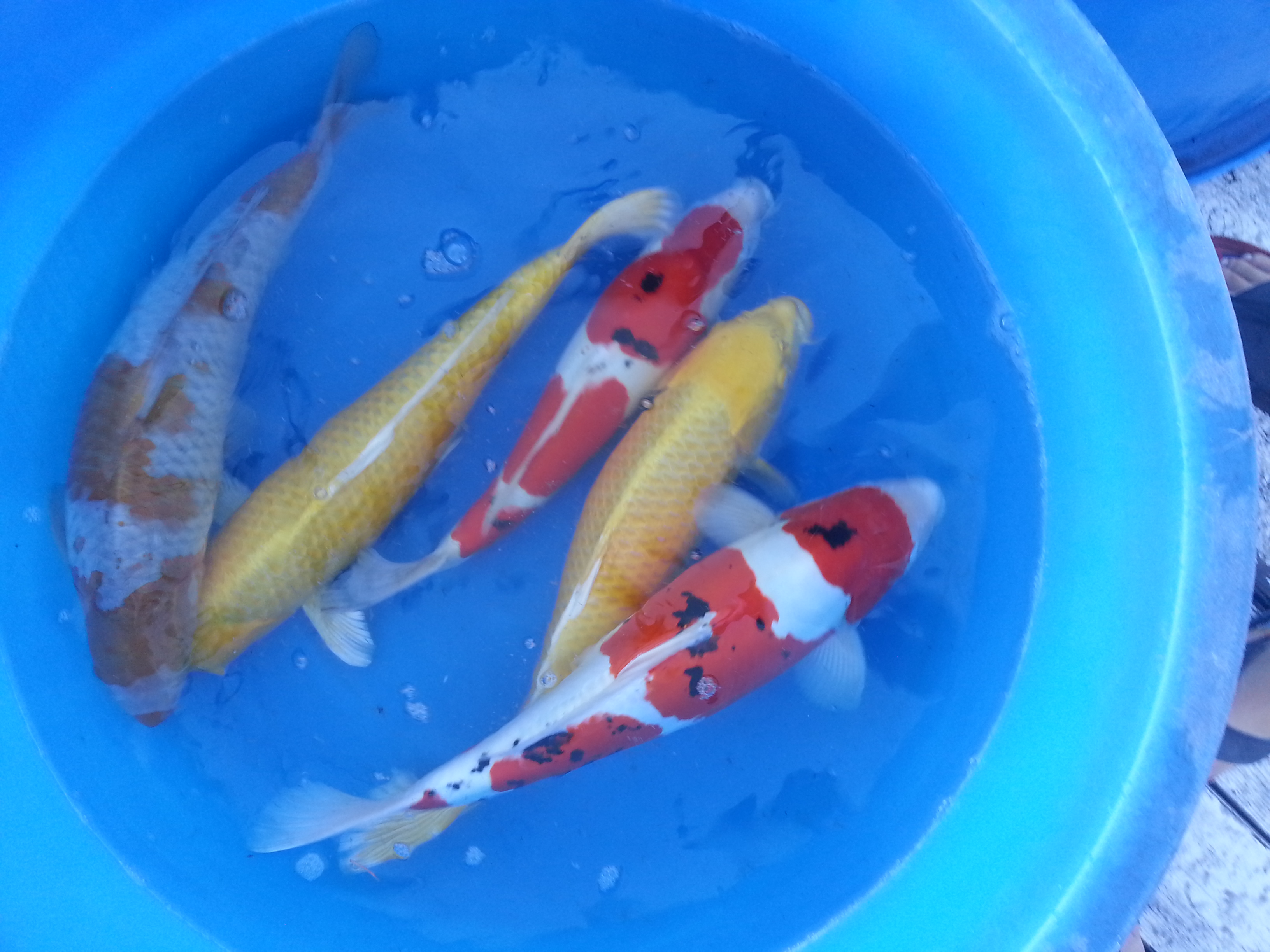 Koi for sale oc koi koi and supplies for Koi pool for sale